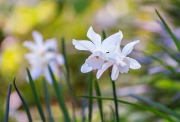 Beautiful daffodils on sunshine in springtime