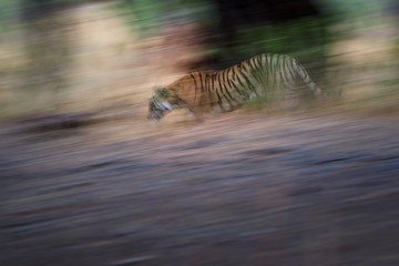 Artistic photo of wild Bengal tiger, Panthera tigris in its natural habitat. Panning motion expressing speed. Ghost image of tigress, walking in jungle perfectly camouflaged. Ranthambore, India.