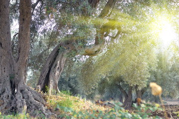 Olive trees _ Campaign