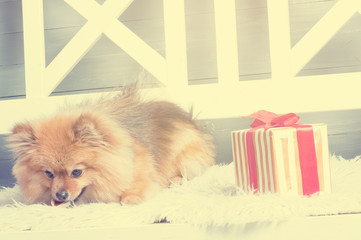 Pomeranian spitz is laying on the white plaid and eating delicacy. Concept happy holiday and food. Present near the puppy