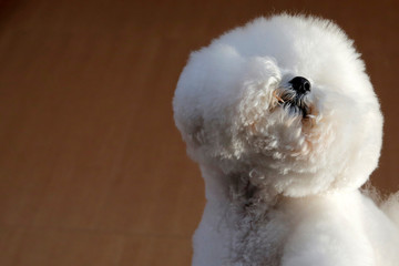 """Flynn, a Bichon Frise, appears at the One World Observatory a day after winning the """"Best in Show"""" at the Westminster Kennel Club Dog Show in Manhattan, New York"""