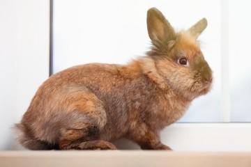 Fotoväggar - Cute brown rabbit