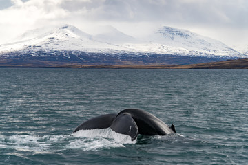 Whale Watching in front of Iceland's glaciers