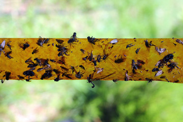 Sticky tape with dead flies