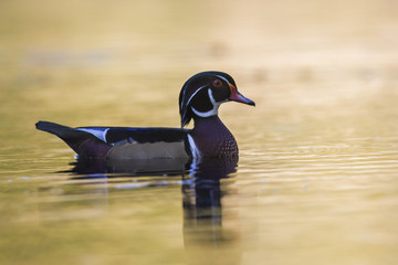 Wood duck drake in autumn