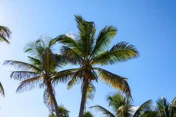 Palm trees with coconuts on a blue sky background. Roatan, Honduras.