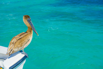 Brown pelican standing over a boat, in Puerto Morelos in Caribbean sea next to the tropical paradise coast