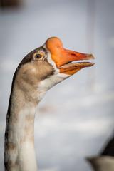 Toulouse Domestic Goose - Oie de Toulouse à bavette