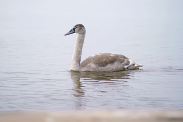 Young grey Mute swan bird (cygnet) swimming in Baltic sea in winter