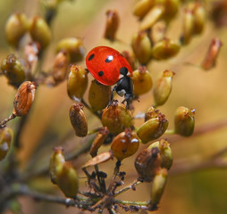 Ladybug  (Coccinellidae) on seeds of dry grass