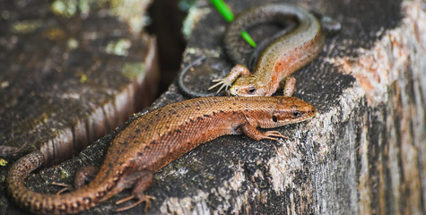 A pair of viviparous lizard or common lizard (Zootoca vivipara) on a tree stump