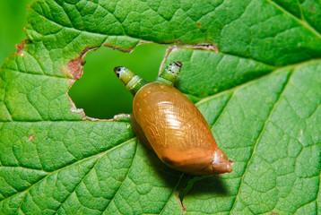 Snail Antara affected by parasite Leucochloridium paradoxical