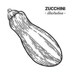 Zucchini fresh food vector hand drawn illustration.