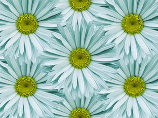 Floral background of light turquoise chamomiles.  Close-up.  Flower composition. Nature.