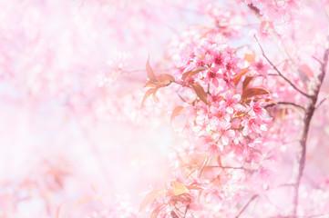 Himalayan Cherry Blossom or sakura flower