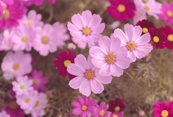 beautiful pink cosmos flower in garden