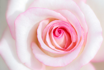 sweet pink rose flower for valentines