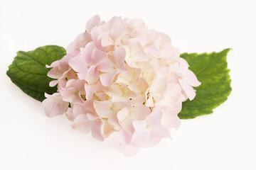 Deurstickers Hydrangea White hydrangea