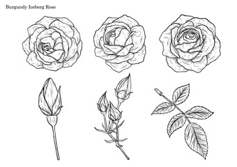 Rose vector set by hand drawing.Beautiful flower on white background.Rose art highly detailed in line art style.Burgundy iceberg rose for wallpaper