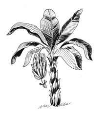 Ink black and white illustration of a banana tree