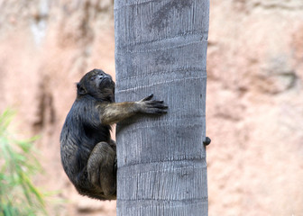 One black howler monkey trying to climb a palm tree looking around. Only the adult male is black; adult females and juveniles of both genders are overall whitish to yellowish-buff