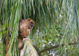 One black howler monkey in a palm tree looking around. Only the adult male is black; adult females and juveniles of both genders are overall whitish to yellowish-buff