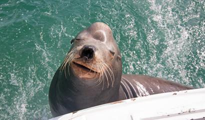 Fototapeta premium Sea Lion on the back of charter fishing boat begging for bait fish in Cabo San Lucas Baja Mexico BCS