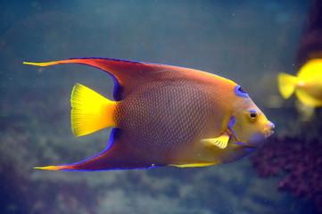 Fish Angel-Queen (Holocanthus ciliaris) in the aquarium