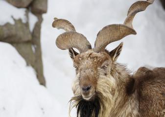 Винторогий козёл, или мархур