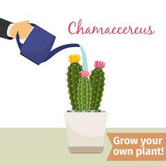 Hand watering chamaecereus plant