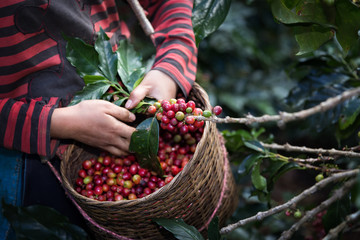 Harvest arabica coffee berries on its branch.