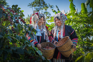 Happy woman Akha hill after harvest arabica coffee berries in basket wood at garden.