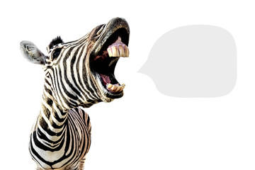 Zelfklevend Fotobehang Zebra zebra with open mouth and big teeth, isolated on white background and with place for text