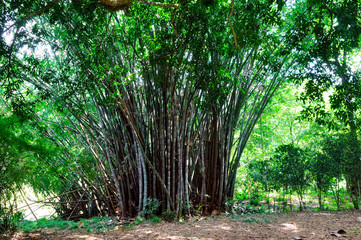 Bamboo branch in bamboo forest. Sri Lanka.