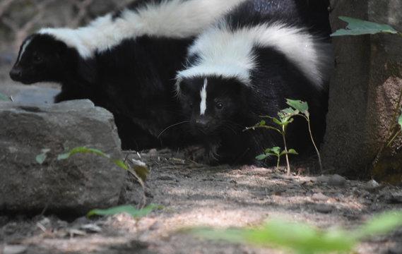 Pair of Cuddling Skunks in a Log