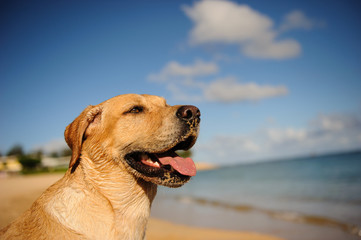 Yellow Labrador Retriever dog outdoor portrait on beach with blue sky