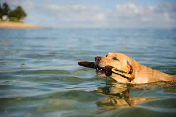 Yellow Labrador Retriever dog outdoor portrait swimming with stick into beach