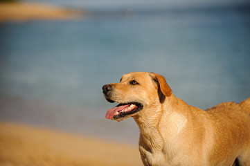Yellow Labrador Retriever dog outdoor portrait standing by sand beach