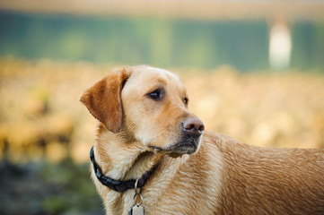 Yellow Labrador Retriever dog outdoor portrait in nature