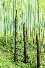 Bamboo and bamboo forest