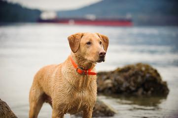 Yellow Labrador Retriever dog outdoor portrait by water