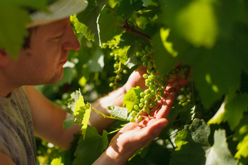 Vine grower is checking white grapevine in the vineyard by sunny weather