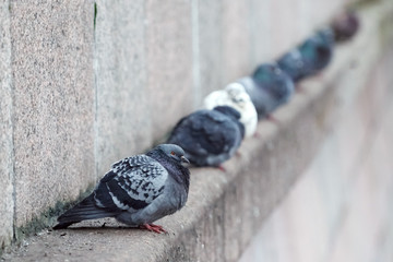 a lot of pigeons sitting in a row