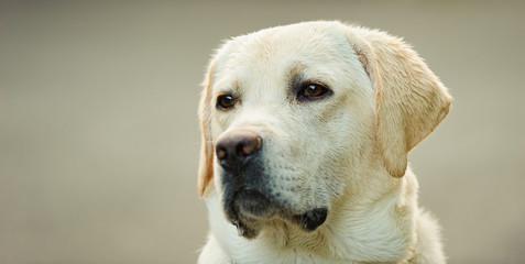 Yellow Labrador Retriever dog outdoor portrait head shot