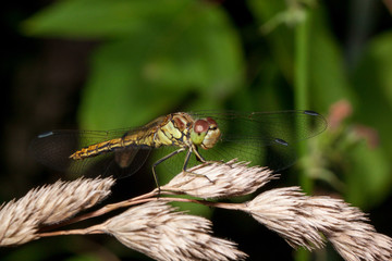 Beautiful dragonfly with transparent wings. Animals in wildlife.