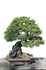 Bonsai of a pine in pot