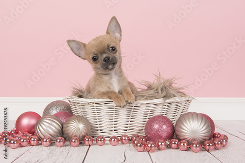 552c0d1405585 Cute sitting chihuahua puppy dog looking at camera wearing a red and white  christmas scarf and hat on a white background