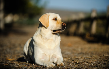 Yellow Labrador Retriever dog lying down on outdoor path