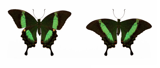 Set of two beautiful butterflies Papilio palinurus (Banded Peacock) isolated on white.