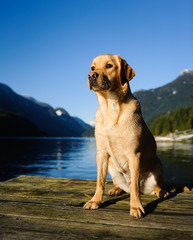 Yellow Labrador Retriever dog outdoor portrait sitting on dock on mountain lake